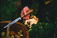 Harvesting wild chanterelle mushrooms in the autumn in the Coast Range of Oregon