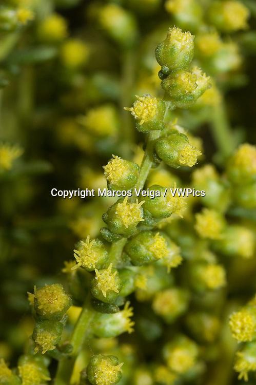 Artemisia campestris subsp. maritima or  Artemisia crithmifolia