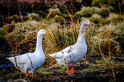 Geese on the island of Great Cumbrae off the west coast of Scotland<br /> <br /> (c) Andrew Wilson | Edinburgh Elite media