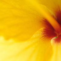 Close-up of Yellow Hibiscus blossom