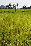 Rice fields. Kep, Cambodia