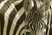 Zebra,  Close up