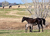 Horses, mares and foals