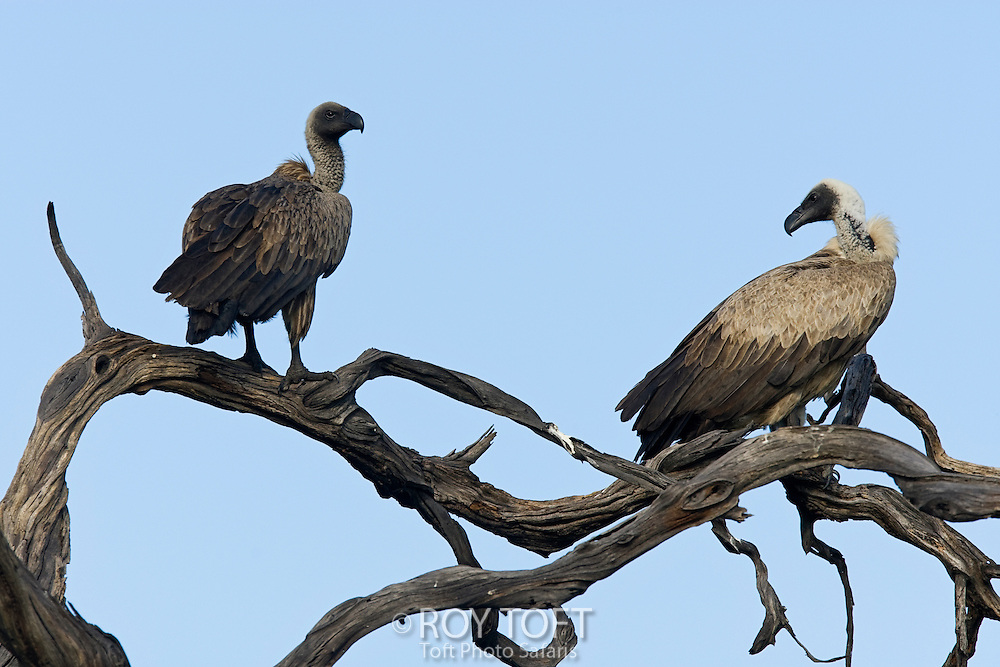 Pair of white-backed vultures perched in a tree.