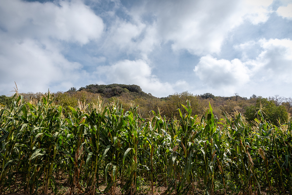 Field of corn stalks with mountains and clouds in the background.
