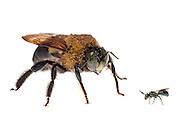 Carpenter Bee (Xylocopa virginica) next to a Small Carpenter Bee (Ceratina), South Carolina, USA. Composited image.