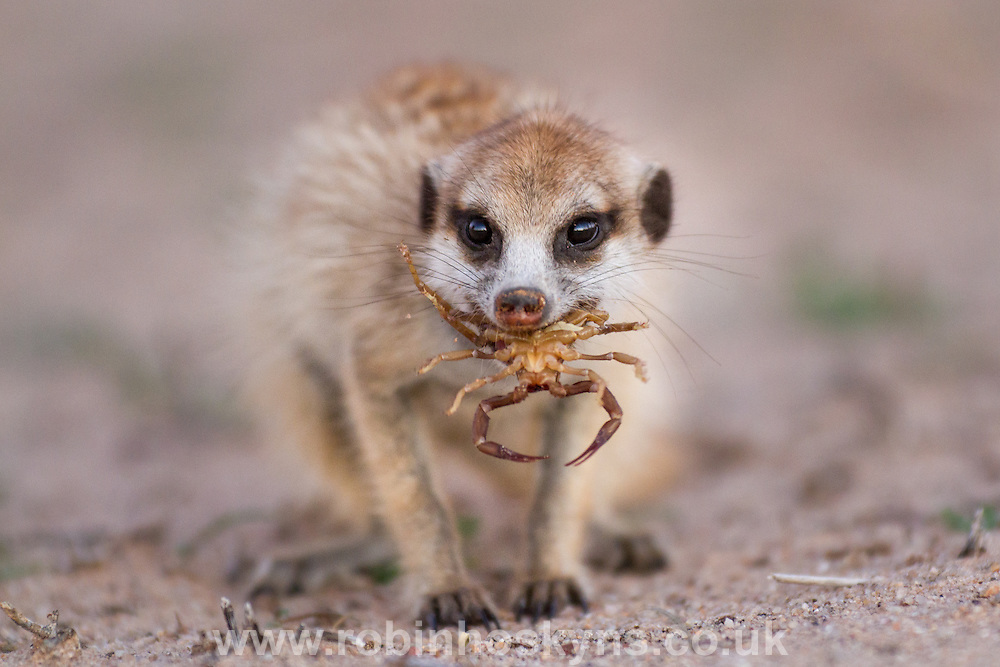 A young Meerkat Eating a Scorpion having previously bitten off the stinger on the tail.