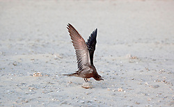 A juvenile Sooty Tern stretches its wings on Bedwell Island at the Rowley Shoals.  The island, a small sand cay is an important resting spot for migratory birds.