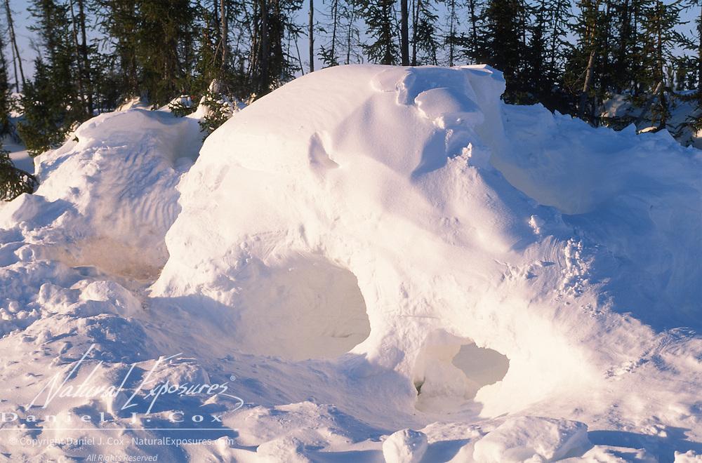 Polar bear (Ursus maritimus) den in Wapusk National Park, Canada.