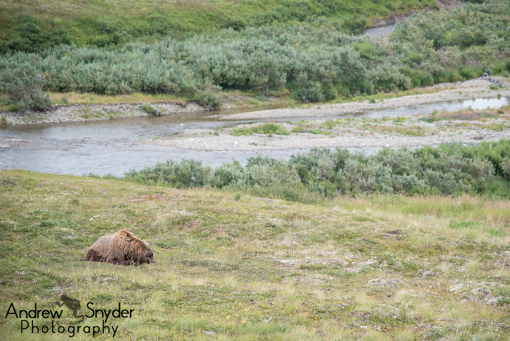 A brown bear dines on blueberries in the Alaska tundra - Katmai, Alaska