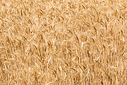 Heads of golden barley in a field before harvesting in rural Brucedale, New South Wales, Australia.