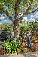 Saint Helena resident Alex Navarrete, owner of Amado Landscaping, with his helper, Alejandro Casas, finish a project at a neighbor's home on School Street in Calistoga.