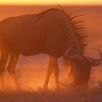 Namibia, Etosha National Park, Blue Wildebeest (Connochaetes taurinus) feeds on desert grass at sunset.