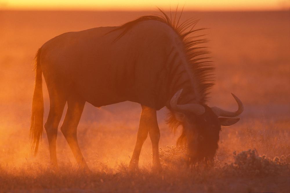 Namibia, Etosha National Park, Blue Wildebeest (Connochaetes taurinus) feeds on desert grass at sunset.