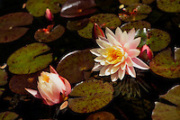 Fresh water lily blossom with a blush of pink.