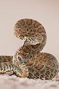 Prairie rattlesnake in South Dakota