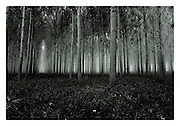 Forest #1, 1990/2015, Tuscany, Italy. <br /> The negative was made in 1990 on Ilford FP4 using a Leica M4 with 35/2 Summicron lens (the fabled version 4) and hand-printed by me, the photographer, in 2015, on 12&quot; x 16&quot; (30.48cm x 40.64cm) Adox Nuance fibre paper as an edition of 15 prints only. The prints are split-selenium toned silver gelatin prints, that have been processed using archival methods. Each print is stamped, titled, numbered, dated, signed and comes with a certificate of authenticity. Please email me at info@simon-larbalestier.co.uk for availability and shipping info. All prints are shipped from the United Kingdom. *Stated price does not include shipping.