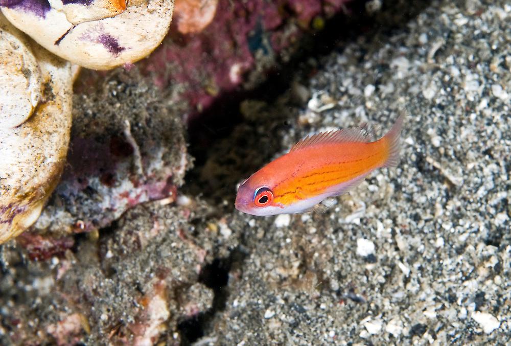 Filamentous Wrasse (Paracheilinus filamentosus). Location : Lembeh Strait, Sulawesi, Indonesia