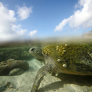 A split level view of a Sea Turtle leaving the shore after laying a clutch of eggs on Lady Elliot Island, the southern-most coral cay of the Great Barrier Reef, Australia. The Great Barrier Reef is one of the most important sea turtle habitats in the world, with Lady Elliot Island being a key part of that habitat.