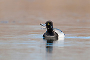 Lesser Scaup, Aythya affinis, male, Shiawassee River, Saginaw County, Michigan