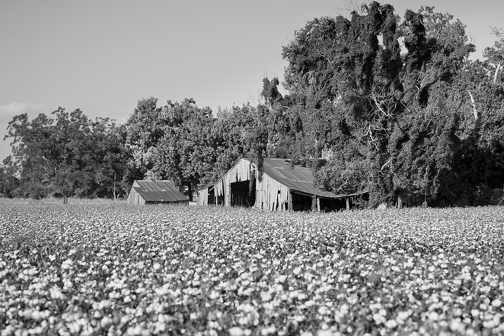 Cotton fields in full bloom spread out on sun baked land in Egypt Texas. Shot from the rear of a motel parking, development seems to be encroaching daily into rural landscapes.