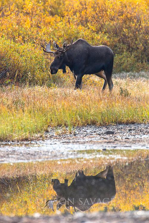 Bull Moose in Glacier National Park