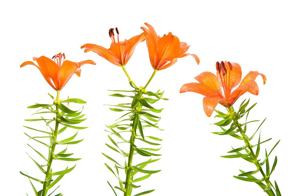 Lilium bulbiferum, Austria