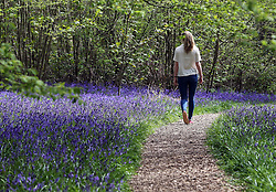 Helena Barham (15) admires the bluebells at Hole Park Gardens in Rolvenden, Kent. The bluebells which are three weeks late to flower this year are close to reaching their peak this bank holiday weekend. Photo by: Stephen Lock / i-Images
