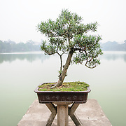 Bonsai tree at the Temple of the Jade Mountain (Ngoc Son Temple) on Hoan Kiem Lake in the heart of Hanoi's Old Quarter. The temple was established on the small Jade Island near the northern shore of the lake in the 18th century and is in honor of the 13-century military leader Tran Hung Dao.
