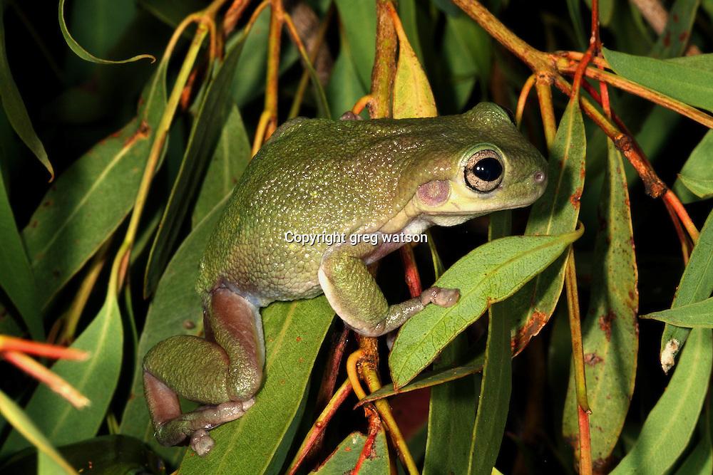 cave dwelling tree frog,LOitoria cavernicola, NW australia