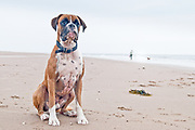 Bulldog on Cleethorpes Beach