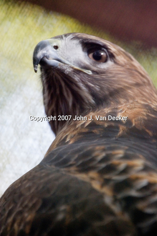 Red-tailed Hawk, Buteo jamaicensis, looking back close-up......Photo taken at The Raptor Trust, one of the premier, privately funded wild bird rehabilitation centers in the United States. The Raptor trust is recognized as a national leader in the fields of raptor conservation and avian rehabilitation. raptors, birds