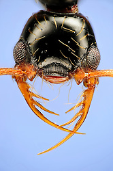 """[Digital focus stacking] Thaumatomyrmex atrox are rarely encountered ants of Neotropical forests. They are specialists predators on millipedes in the order Polyxenida. These millipedes are miniature porcupines which entangle potential predators with detachable barbed setae. Thaumatomyrmex cope with bristle millipedes by grabbing them with its specialized mandibles. The mandibles are composed of three long spines which allow handling of the millipedes without getting in contact with the bristles.  Picture was taken in cooperation with the """"Staatl. Museum für Naturkunde Karlsruhe""""."""