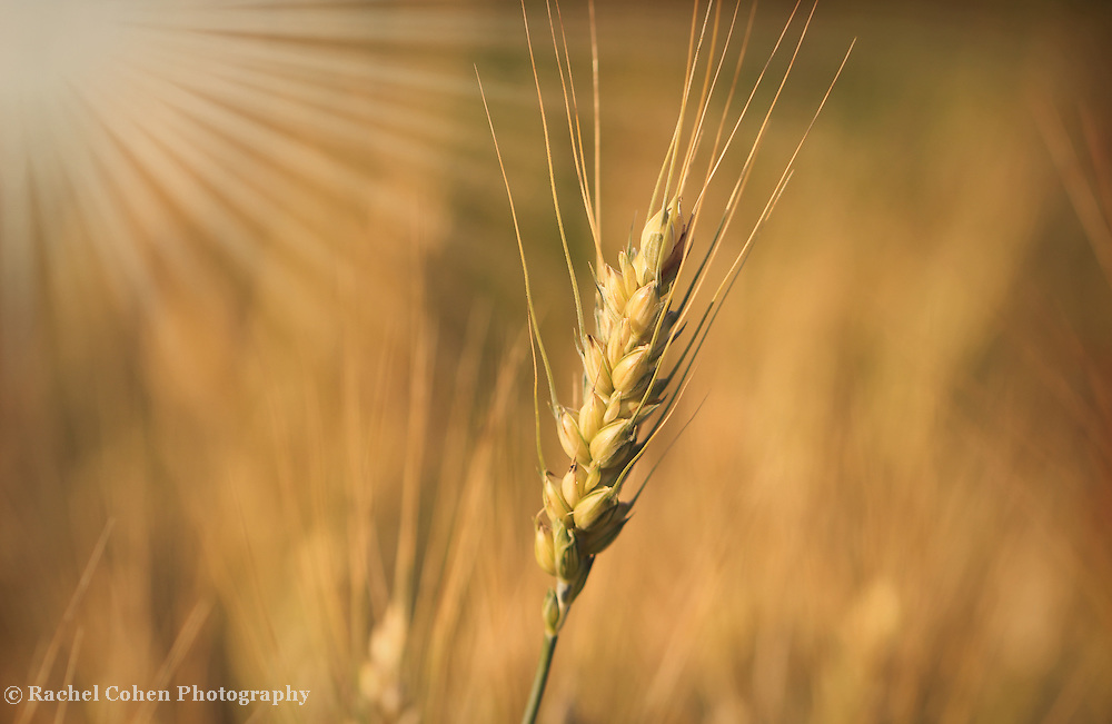 &quot;Silky Gold&quot; <br /> <br /> Gorgeous golden wheat and sunbeams!