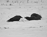 Three noisy crows playing in the snow. Late fall backyard nature in New Jersey. Image taken with a Fuji X-T2 camera and 100-400 mm OIS telephoto zoom lens
