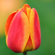 """""""Tulip of Red and Yellow""""<br /> <br /> A lovely close-up of a stunning red and yellow tulip!!<br /> <br /> Flowers by Rachel Cohen"""