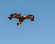 Harris's hawk in flight, gliding downward with wings pulled in to reduce lift,  leading feathers acting as airflow spoilers to reduce lift, looking directly in direction of travel, blue sky background, © 2012 David A. Ponton