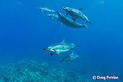 Hawaiian spinner dolphins or Gray's spinner dolphin, Stenella longirostris longirostris, swim over coral reef, <br /> Kona, Hawaii ( Big Island ), USA ( Central Pacific Ocean )