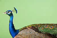 Peacock against green background side view
