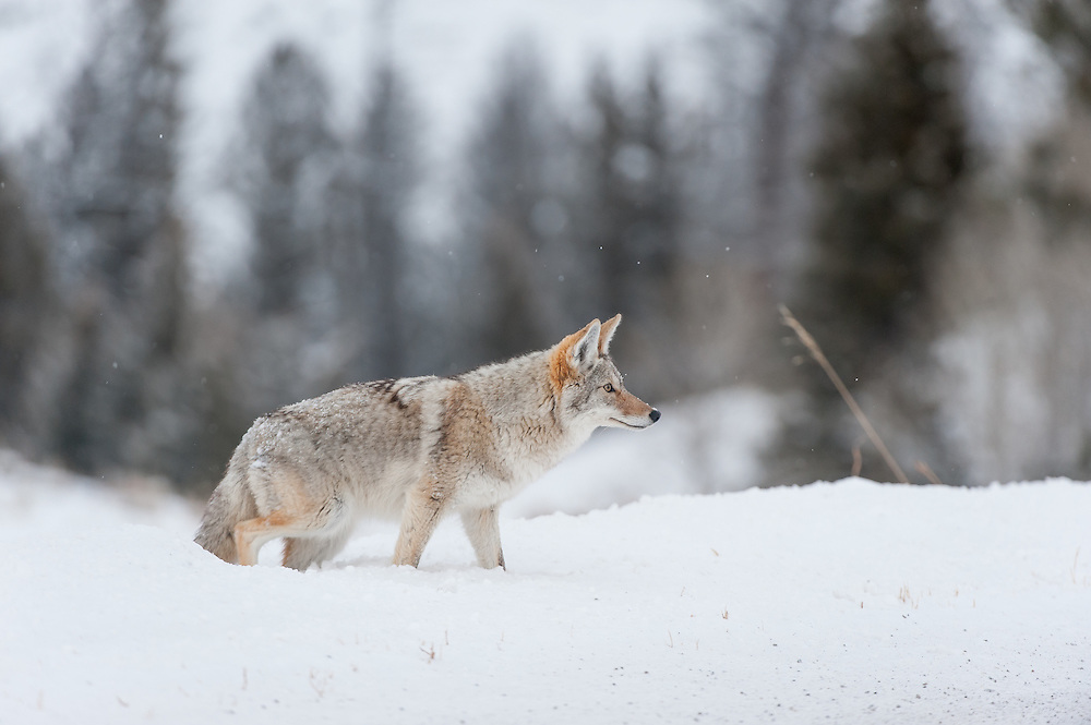 A coyote (Canis latrans) in winter, Yellowstone National Park, Wyoming