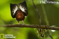 Club-winged Manakin (Machaeropterus deliciosus)<br />Male hitting its wings together over its back to produce a pure tone.<br />Endemic species to Ecuador.<br /><br />Milpe Cloudforest Reserve