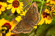 Horace's Duskywing - Hodges#3952 (Erynnis horatius)<br /> United States: Alabama: Tuscaloosa Co.<br /> Tulip Tree Springs off Echola Rd.; Elrod<br /> 24-May-2017<br /> J.C. Abbott #2951