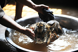 60263652 <br />  A staff member gives a tiger cub a shower to relieve the summer heat at the zoo of Yangzhou, east China's Jiangsu Province, July 31, 2013. Staff members of the park provided ice, fruits as well as air conditioners to animals Wednesday here to help them cope with the relentless heat in Yangzhou, China<br /> Wednesday, July 31, 2013<br /> Picture by imago / i-Images<br /> UK ONLY