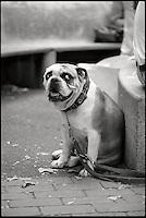 Bulldog watching His Master.