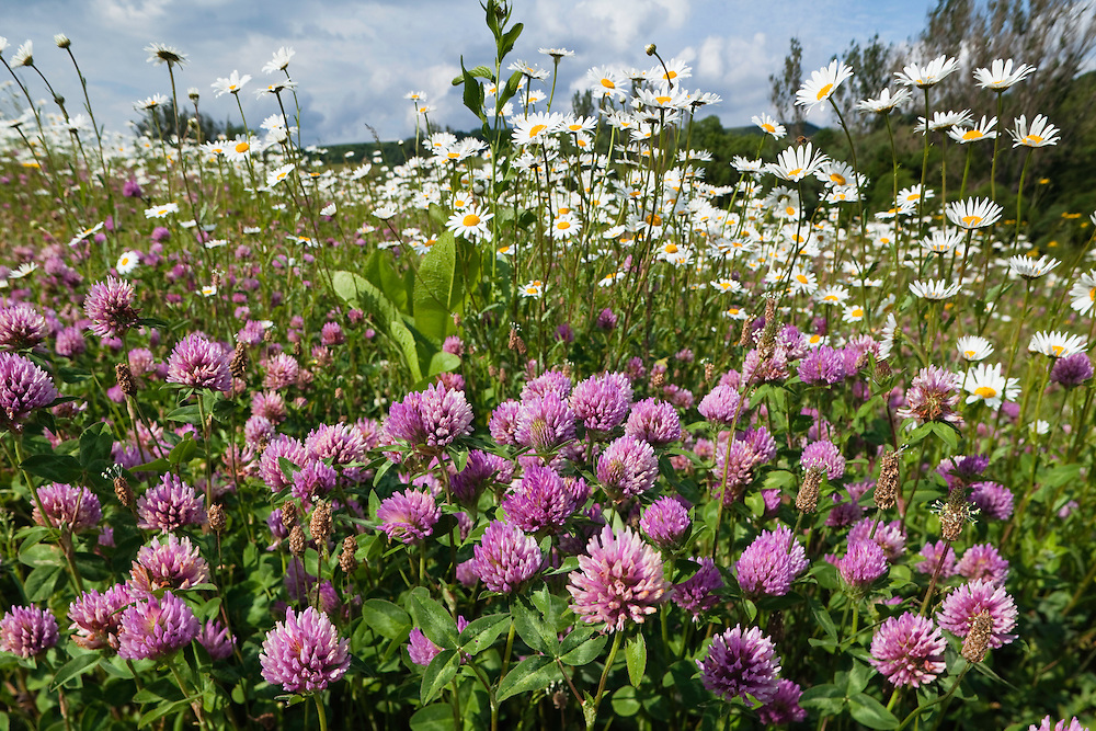 Flowering Meadow with Marguerites and Red Clover, Leucanthemum vulgare, Trifolium pratense, Eastern Slovakia, Europe
