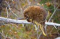 Porcupine on a fallen tree