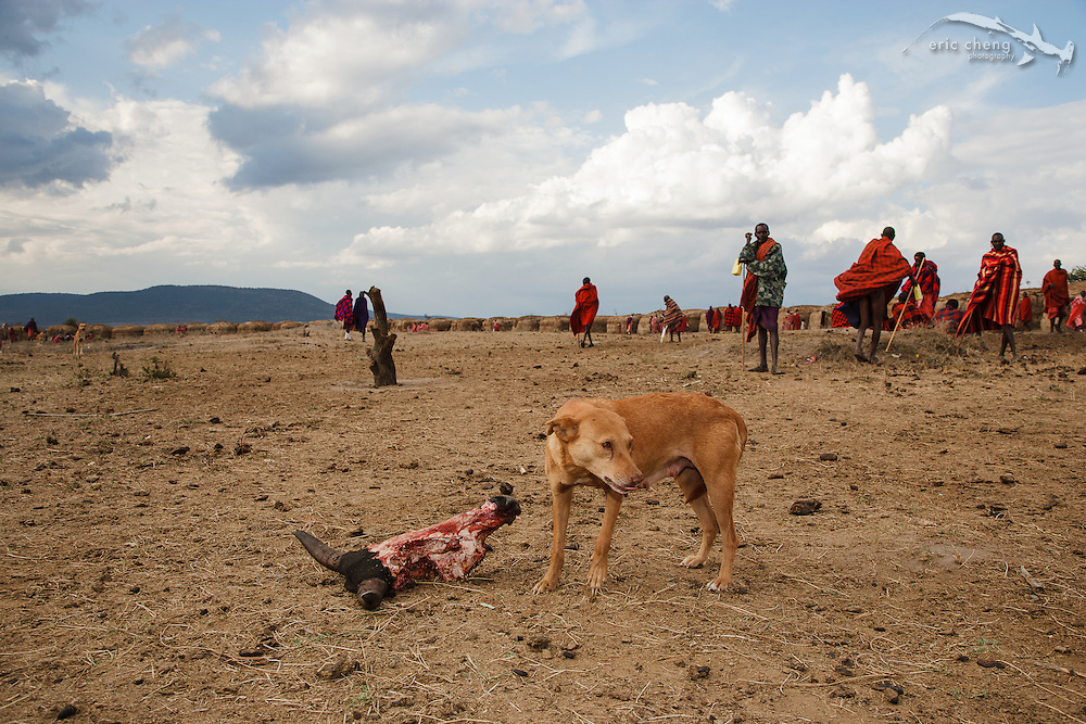 A manyatta, an extended Maasai party in which rites of passage are performed. Near Loliondo, Tanzania.