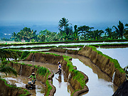 28 JULY 2017 - JATILUWIH, BALI, INDONESIA: Farmers working in rice terraces near Jatiluwih, in central Bali. Rice is the most important crop grown on Bali and is important as a food source and a symbol of Balinese culture.     PHOTO BY JACK KURTZ