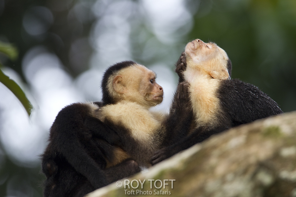 Brown Capuchin monkeys grooming each other, Osa Peninsula, Costa Rica