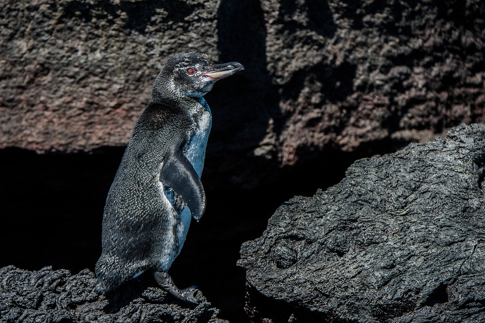 Galapagos Penguin (Spheniscus mendiculus)<br /> Punta Moreno, Isabela Island<br /> GALAPAGOS ISLANDS<br /> ECUADOR.  South America<br /> ENDEMIC TO GALAPAGOS ISLANDS